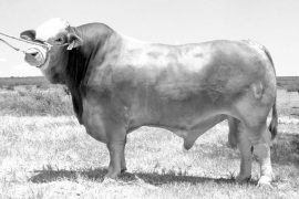 Reconocen en Houston a toro de la UANL