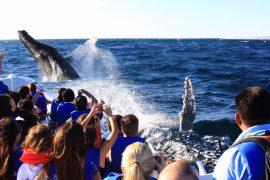 Inicia el show de la ballena jorobada